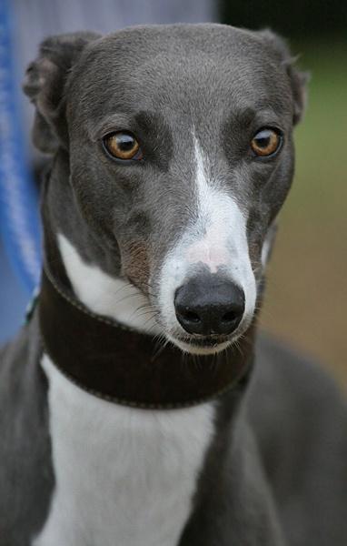 Greyhound by KJackson