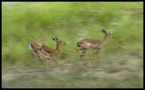 Impala Blur by jacroc