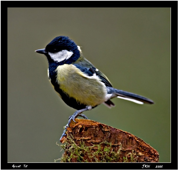 great tit by fishy2