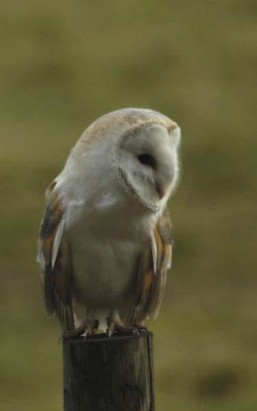 barn owl by pip01