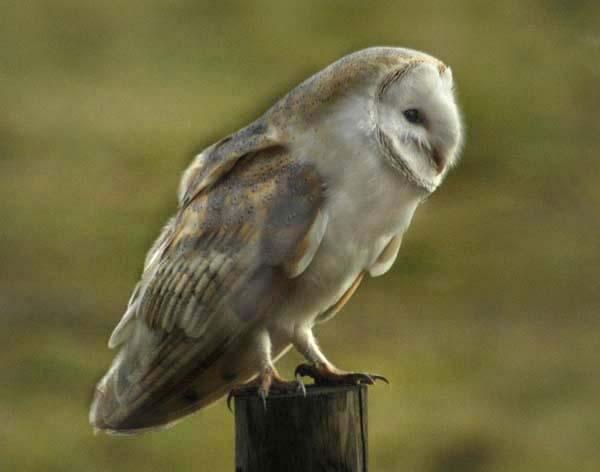 barn owl2 by pip01
