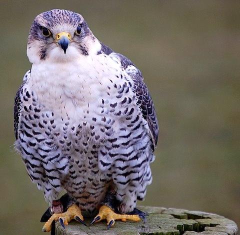 Saker Falcon by jacqui123