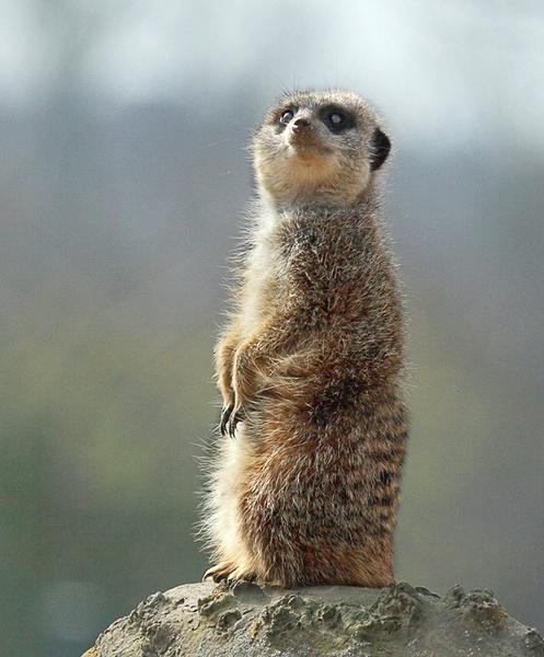 meerkat by Misty56