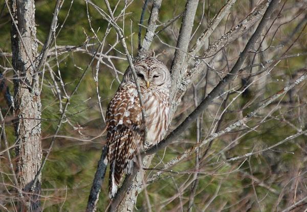 Owl by susanann