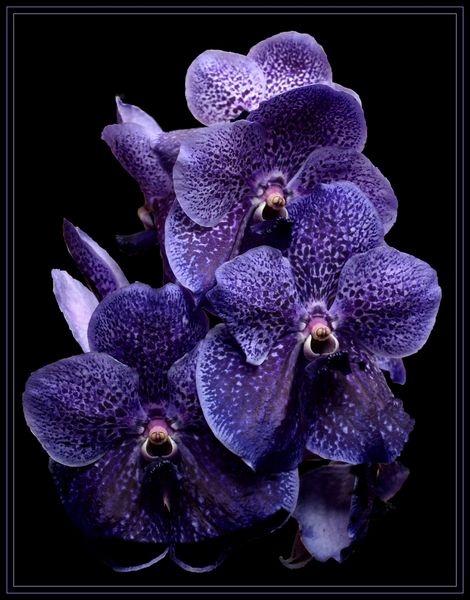 "orchid \""vanda\"" by yelnats"