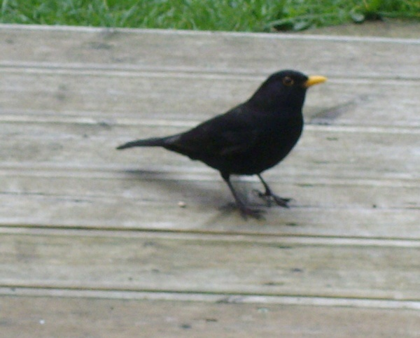 blackbird that  comes to our back garden by anneliese
