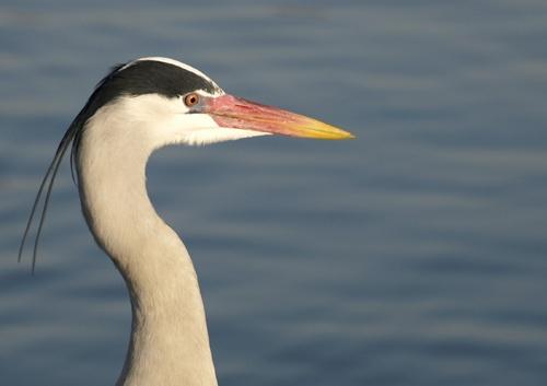 herons head by whiteswan01