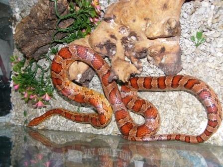 Carolina Corn Snake by wildtinsey