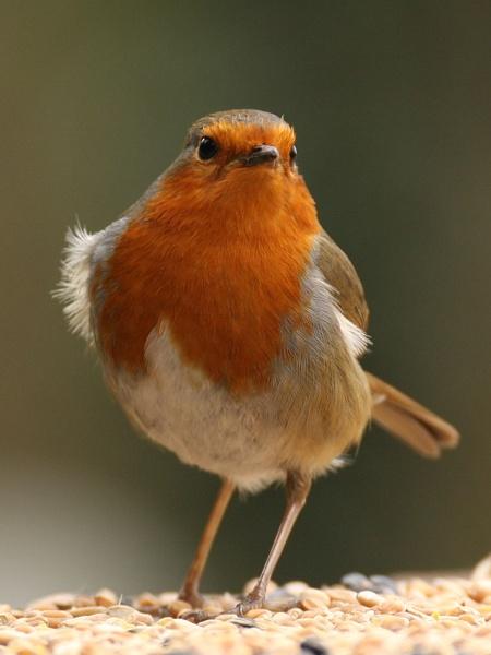 Robin...Again! by digitalcaptive