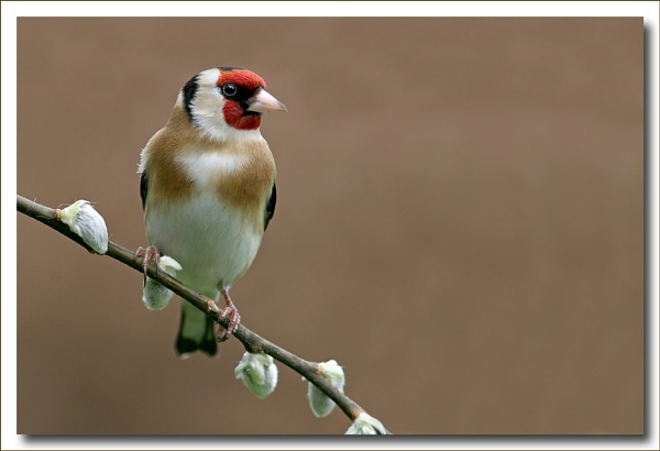 Goldfinch by Hannahs_Pics