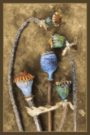poppy heads by PeeCee