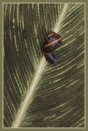 snail on leaf by PeeCee