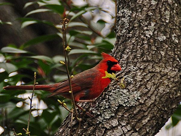 cardinal #3 by jdh2