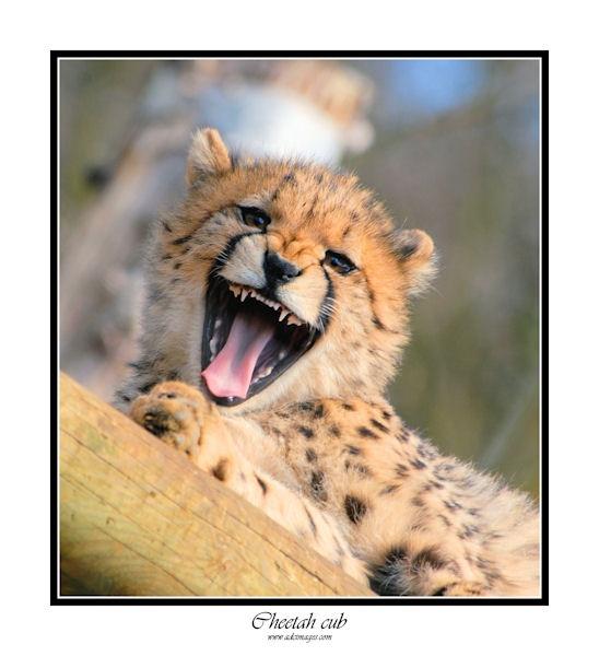 Chettah Cub by AllyBoy