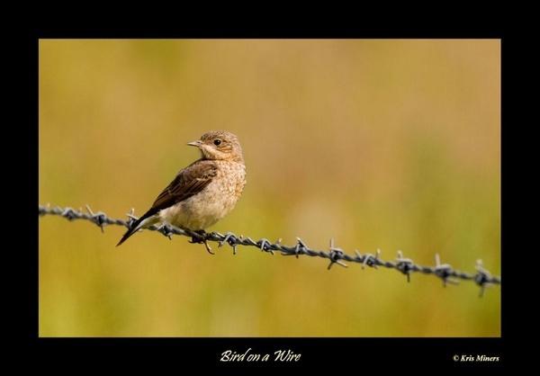 Bird on a Wire by bushcraft