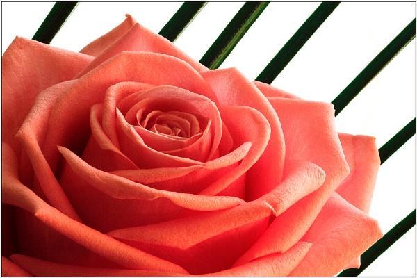 Sub rosa by Mirjam