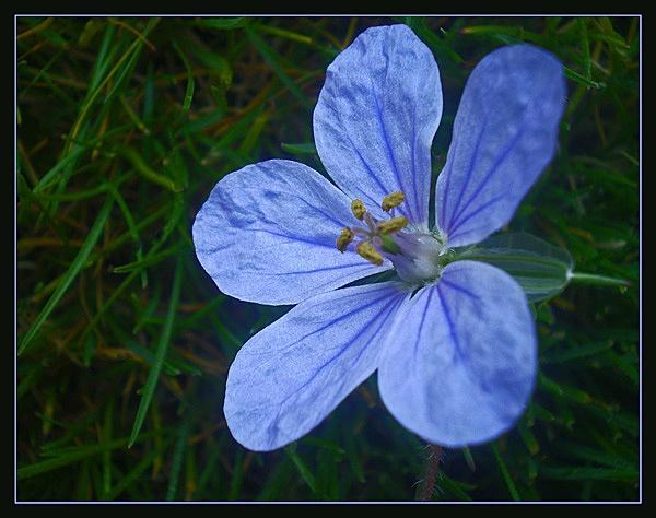 erodium gruinum by CarolG