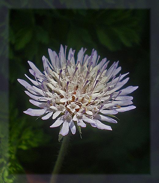 knautia integrifolia by CarolG