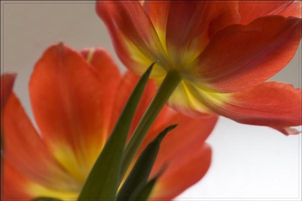 Tulips with tele by Monradus
