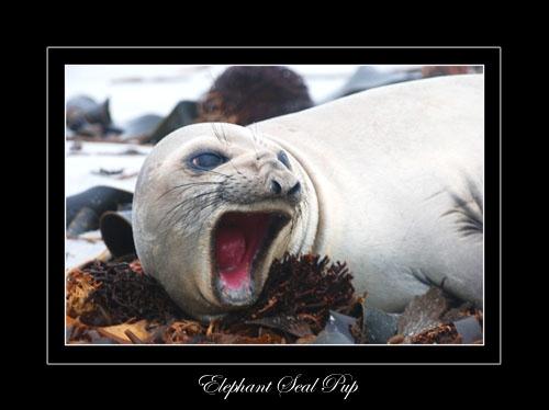 Elephant Seal Pup by Stevebishop