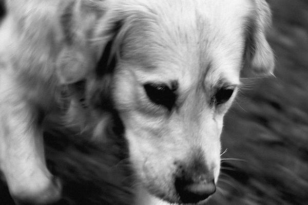 Running Dog by cavjer