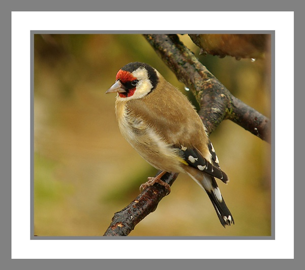 Goldfinch. by JWA