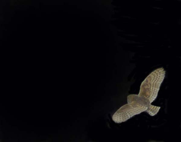 barn owl in flight by pip01
