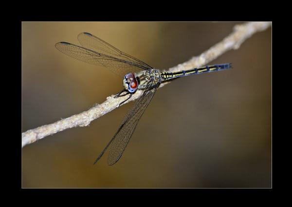 draggon fly by wavey