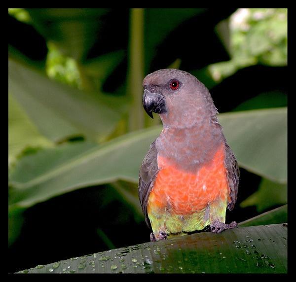 parakeet by ducatifogarty