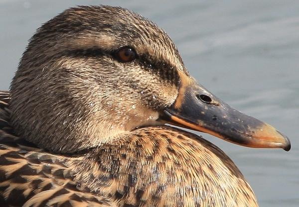 Duck-head by cheddar-caveman