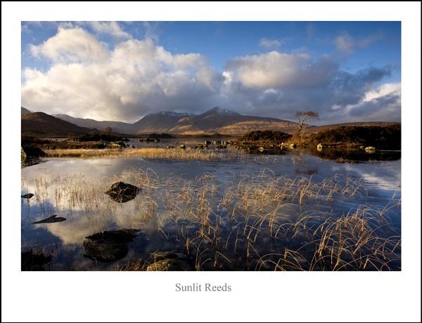 Sunlit Reeds... by Scottishlandscapes