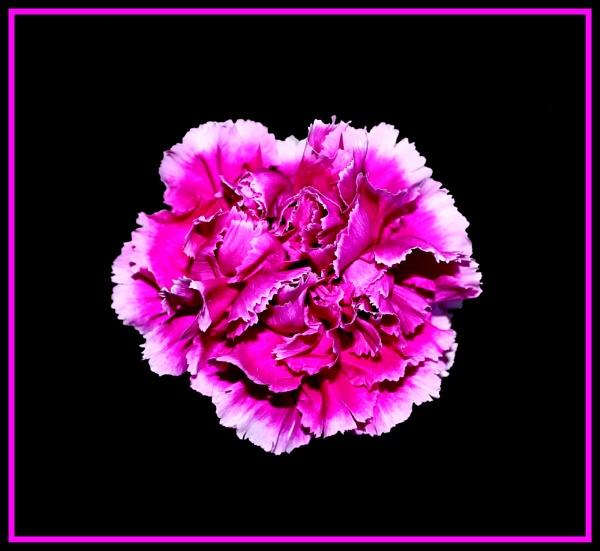 Carnation by mickf1