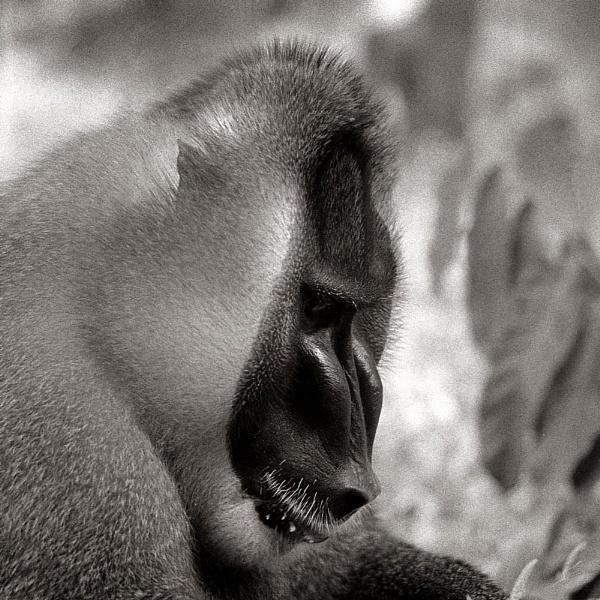Drill Monkey by MDaniel