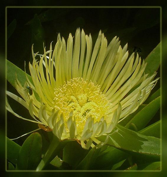 lampranthus spectabilis by CarolG