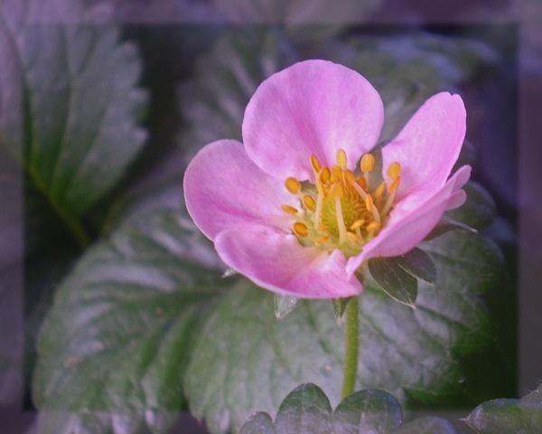 simply a strawberry by CarolG