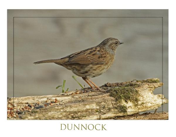 dunnock by Davestem