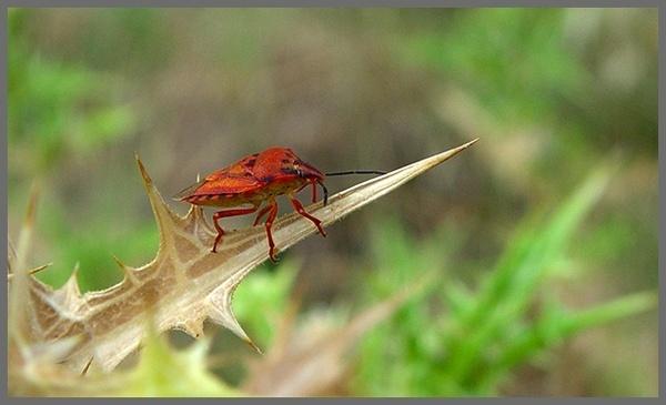 Red stink bug by Aristeidis