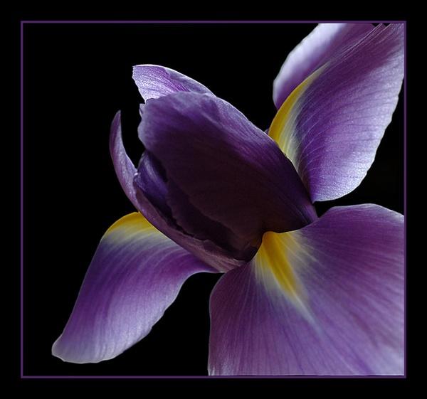 Iris study by clo99