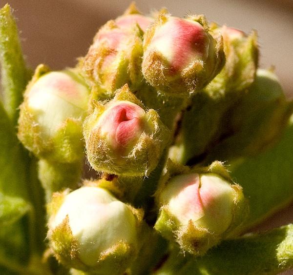 Hairy little pears! by Scutter