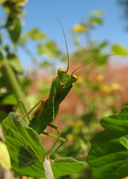 Praying Mantis by mightymaits