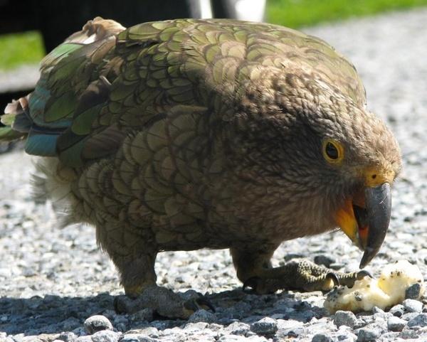 Greedy Kea by mightymaits