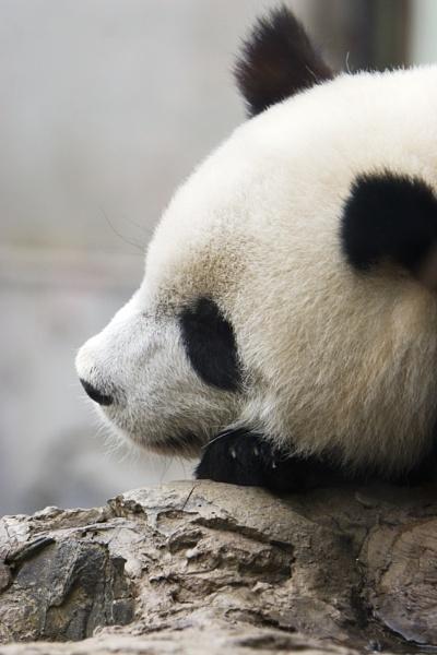 Beijing Panda by jlwilliams1979