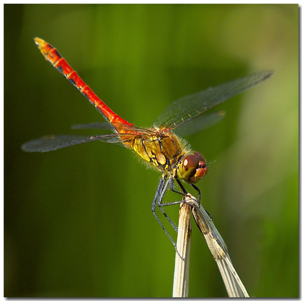 Ruddy Darter 2 by abtuie