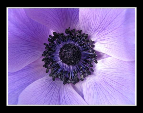 Purple Flower by br