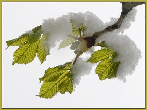 Snow In Spring by Eden