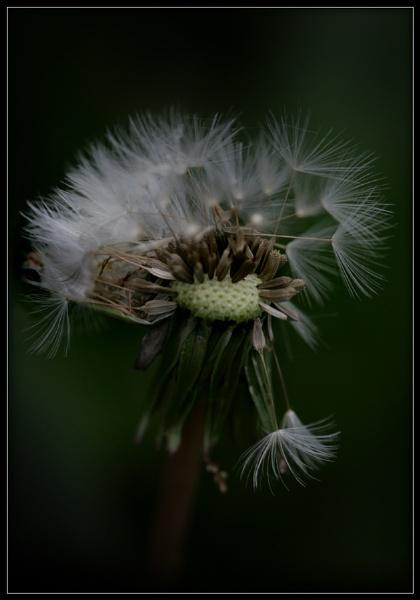 Dark Dandelion by Morpyre