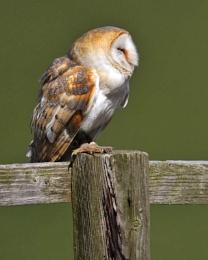 Re-Patriated Owl