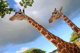 Giraffes in Palawan