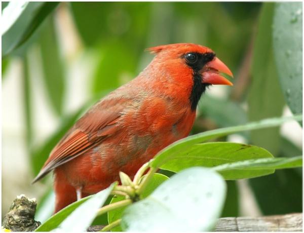 Male Cardinal by Mrtaz30