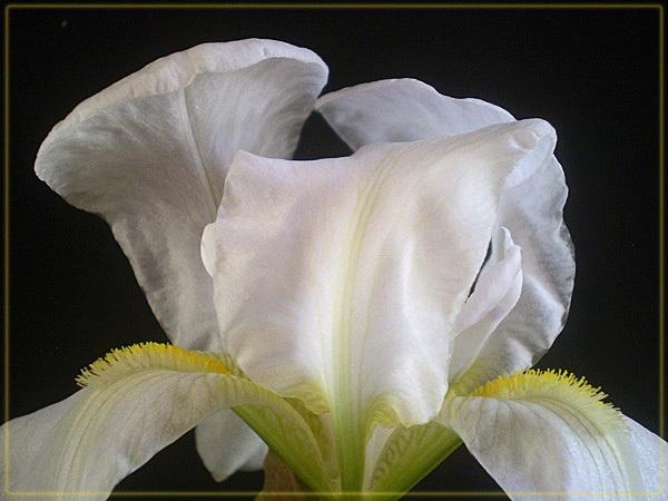wild white iris by CarolG